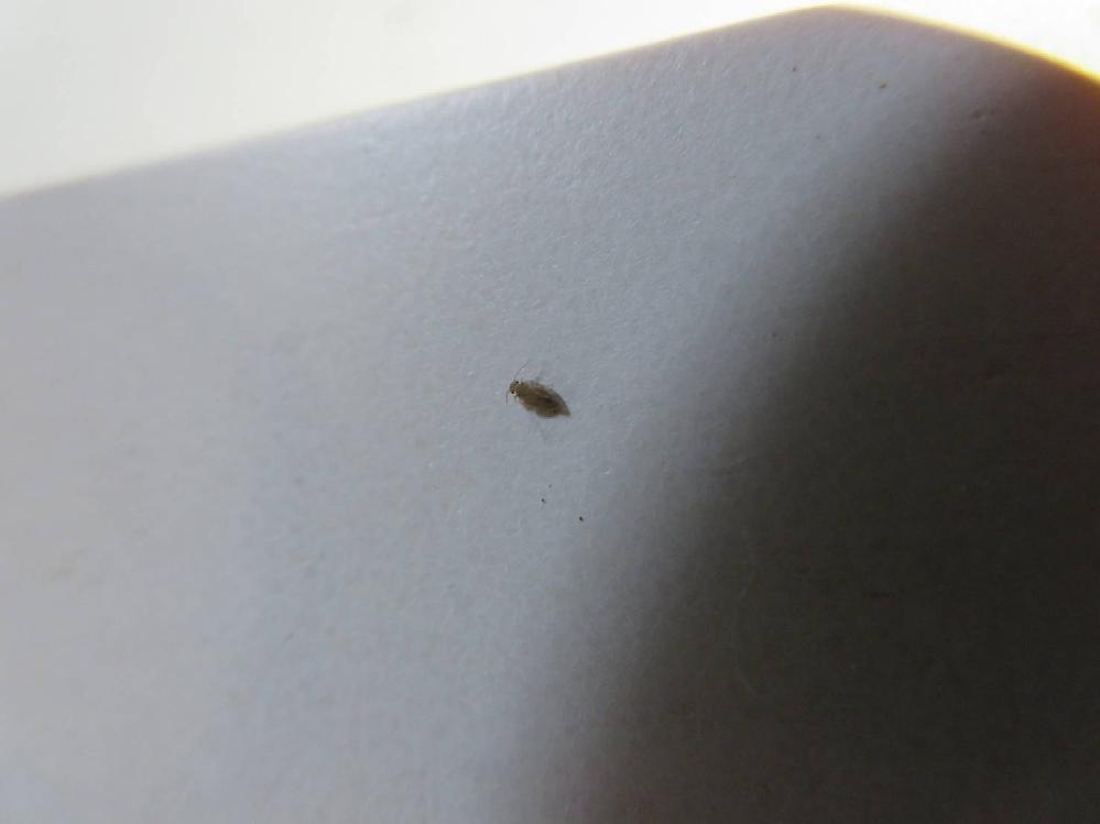 ほぼ毎日、木のベットに一匹はいるのですがこれは何の虫でしょうか?大きさは1mm位だと思います。