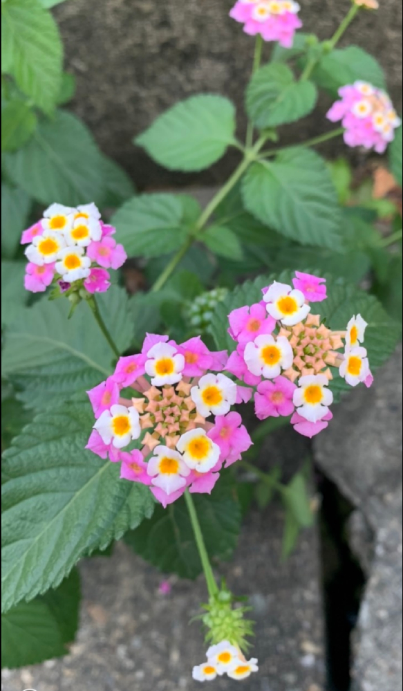 散歩中、見かけた花です。 こんなに可愛らしい花を見たのは初めてで感動してしまったのですが、ネットで調べてみても見つけることが出来ませんでした。 どなたか花に詳しい方、花の名前を教えてください。 宜しくお願いいたします。