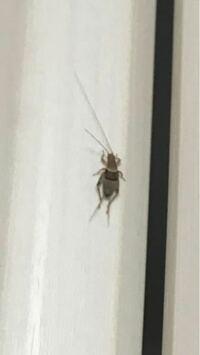 [虫画像]部屋に虫が出ました…1センチも無い大きさです。何という虫でしょうか?侵入経路、対策も教えて頂けると助かります。玄関には虫コナーズ、キッチンや風呂場等の水回りは毎日ハイターで手入れしており虫が来 ない様に頑張ってるのですが…。たまに虫が出ます。