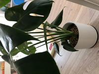 モンステラの新芽が開きません。株は健康に見えます。8月末に6号のモンステラを購入して5日後くらいで新芽が顔を出しました。 それから3週間くらい経ちますが、途中まではぐいぐい伸びていたのに途中で成長が止まったのか、全然開きません。そして、別の葉にはまた新たに新芽が出て来ているのを発見しました。 鉢の状態としては、1つの鉢植えに2つの株が植えてあります。1つの株に6枚程葉が付いている感じです。...