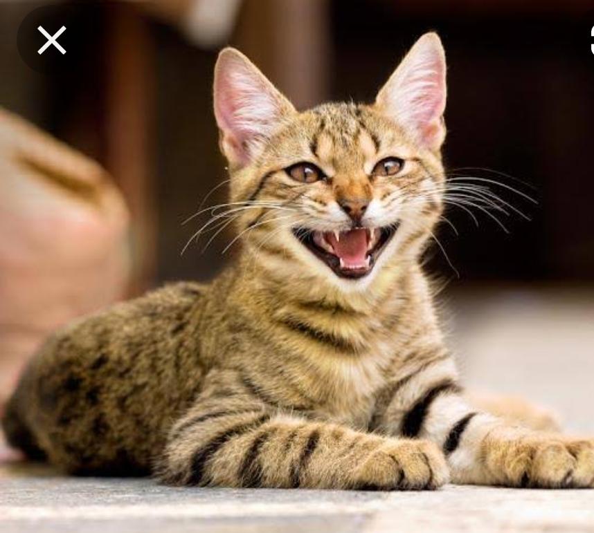猫ちゃんがこのような顔をして飼い主の方を見て鳴くとき… 怒っているわけではないのですか? シャーとかフーではなく 普通にニャーー!と鳴きます 耳も写真のようにピンとしてます。 こうゆうときは何か要求があるのかなと思ってるのですが 怒っているのではなく、その子の普段鳴くときの顔がこの顔ということですかね? 語彙力がなくてすみません どなたか教えて下さい( ;∀;)