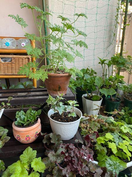ローズゼラニウムの扱い方がわかりません。 切り戻しなどがあるようですがこの写真を見て 方法など具体的に教えていただければ助かります。 解られると思いますが一応、 右上の背の高い緑の植物です。