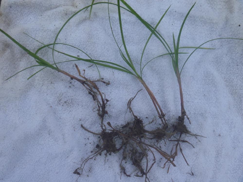 庭の畑に2~4日に一度生ごみを1リットルくらい 10年ほど埋めて来ましたが、近頃は大根やからし菜 さえ種まいても発芽しなくなりました、よく見ると小さい2ミリあるなしのアリ らしい虫がたくさんいますこいつに種を取られたのだろうか。 それと別に生ごみ埋めたあとに、この写真の雑草ばかり生えてきます、地下茎で 繋がって切れても発芽する様で以前から根が深く厄介な雑草で 名前を知りませんので検索できず対応が分かりません。