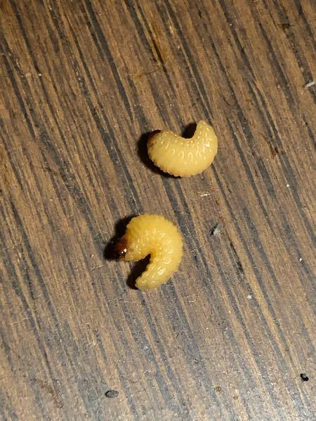 これってなんという虫ですか? 突然部屋に現れました。