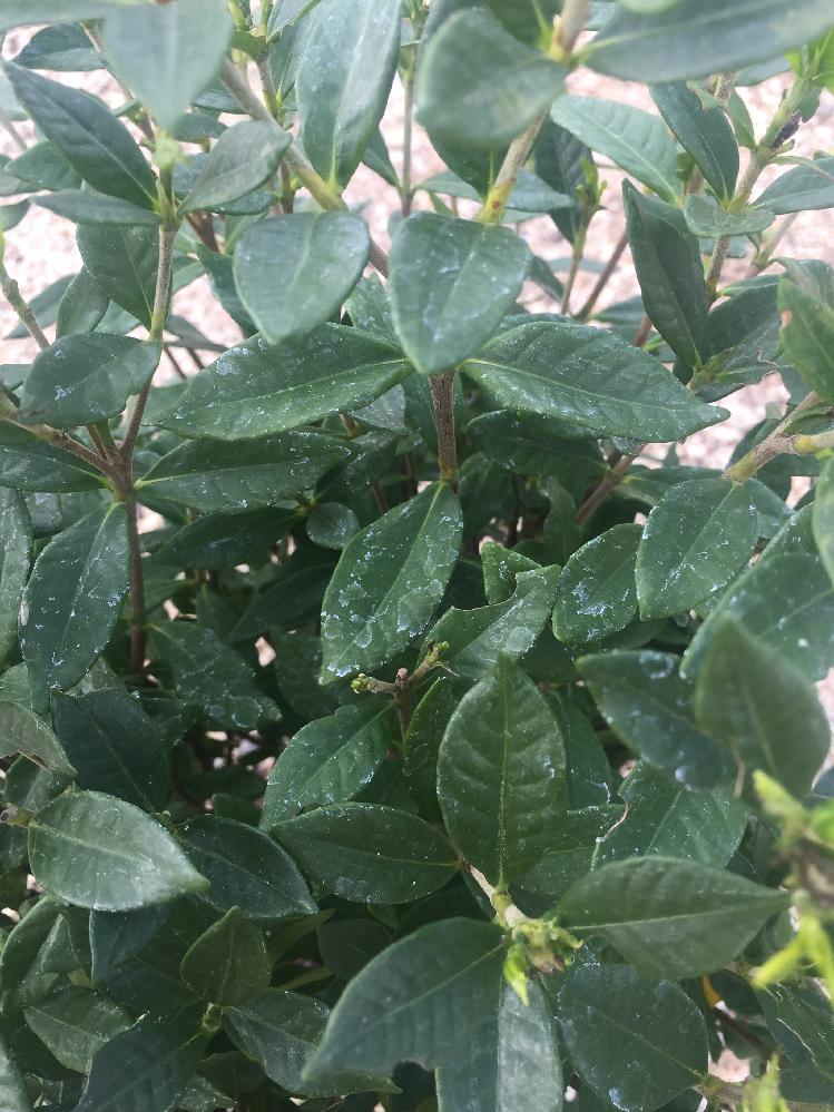 クチナシの葉っぱです。 うどん粉病でしょうか? 植えて2週間程なのですが。