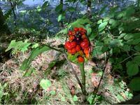 長野県軽井沢町でこのような植物を見つけたのですが、これは絶滅危惧種の「ヤマコンニャク」ですか?