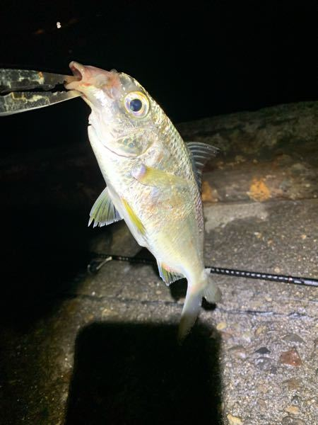 これはなんという魚でしょうか。 堤防で釣れました。 口が変な形をしております。 だいたい20センチ強くらいです。 あと、美味しいんでしょうか?