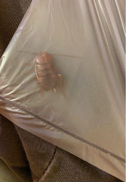 これってなんの虫ですか? ゴキブリですか?