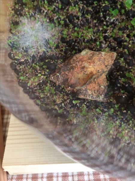 アクアリウム初心者です。 水草を育てたらカビが発生しました。このまま水を入れても大丈夫でしょうか?どのように処理したらよいでしょうか?