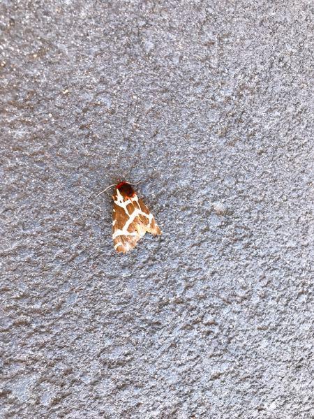 この虫なんですか? この虫(蛾?)はなんですか? コンビニの前にいました! 北海道(道南)です。