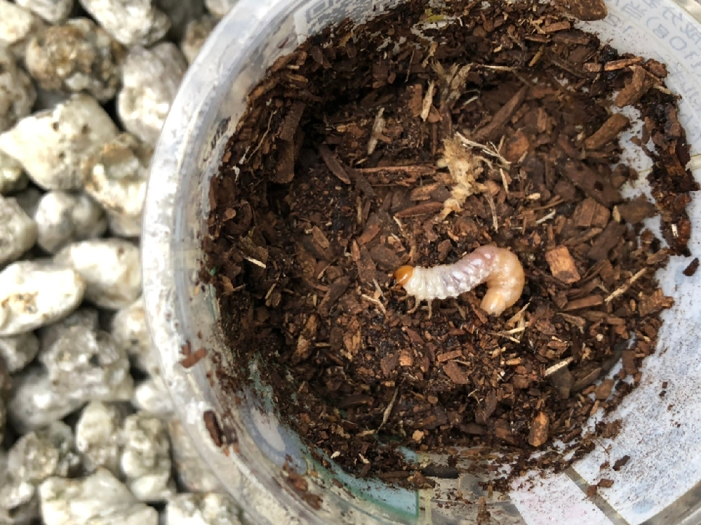 これは クワガタの幼虫ですかね? 椎茸のホダ木から採取しました!