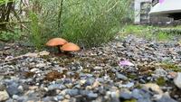 家のお庭に突如現れたこのキノコ種類何だか分かる方いらっしゃいますか?