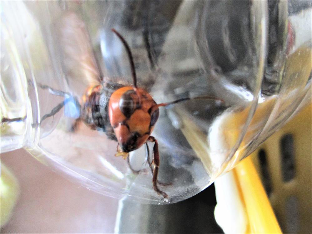 これは、スズメバチ、オオスズメバチのどちらでしょうか。 人差し指サイズで苦労してパットボトルに押し込みましたが、入れてあった他のハチをすべて噛み殺しました。ペットボトル自体が羽の振動で動くほどのバケモノでした。