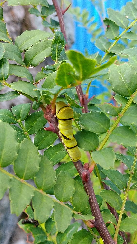これは何アゲハの幼虫か、お分かりになる方いらっしゃいますか? 毎年ナミアゲハがサンショウの木に沢山来訪してくれているので、恐らくナミアゲハかな…?と思っているのですが…模様がちょっと違うように感じ、質問させて頂きました… 色々とサイトを見て調べてみたのですが、微妙に違う模様でして…やはり幼虫界にも個人差というものがあるのでしょうか? はたまた寄生されている…?? ご回答お待ちしております!