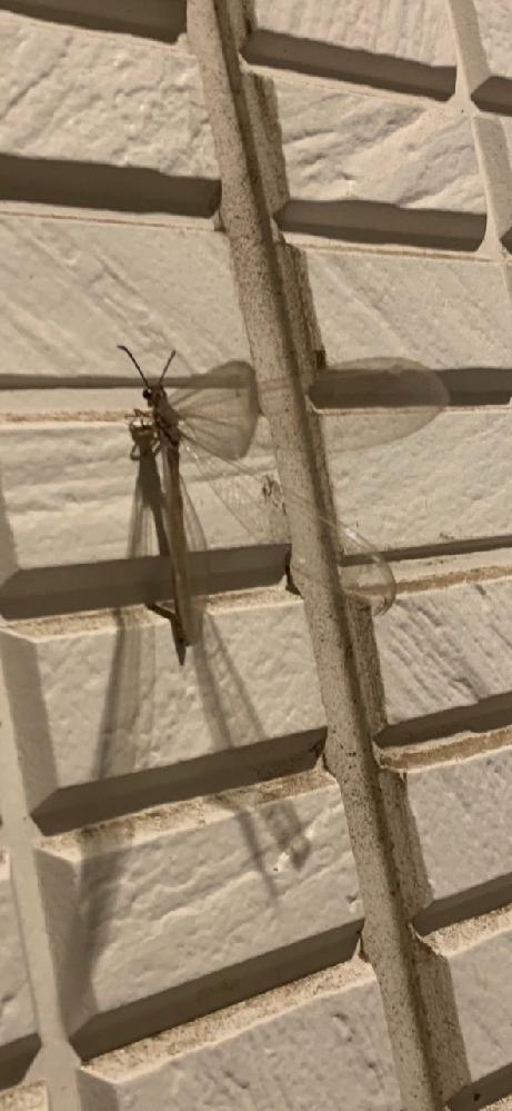 家の玄関にいた昆虫ですが、なんという名前かわかりますか? 羽が透き通っていて綺麗でとんぼのようですが、初めて見たので気になりました。
