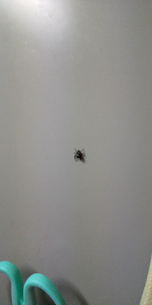 この蜘蛛は何という蜘蛛ですか? ご存知の方いらっしゃいましたら教えてください。 宜しくお願い致します。