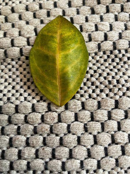 柑橘の苗木を鉢から地植えにかえました。黄色の葉がこんな感じに変化しました。足りないのは栄養?ストレス?教えてください