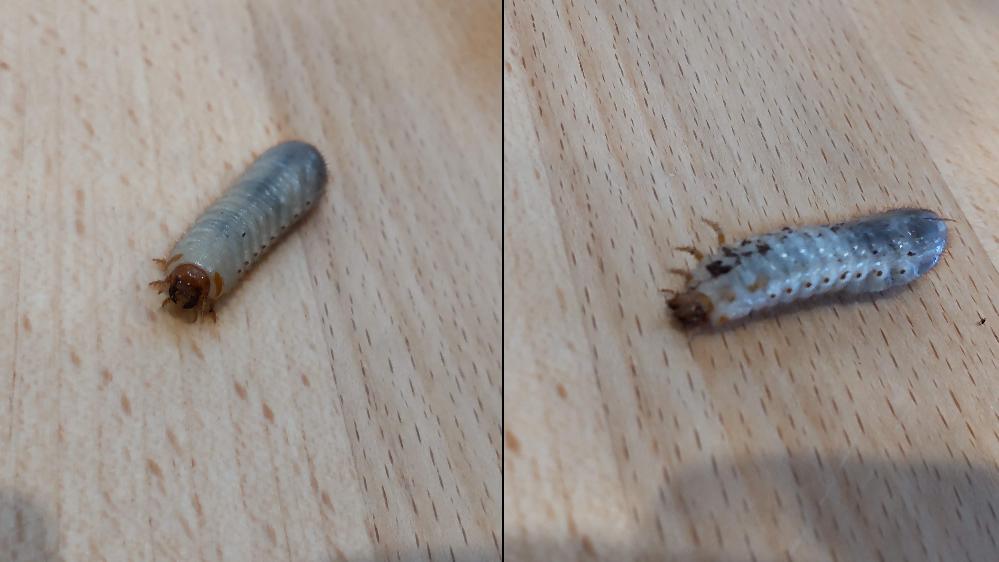 3階ベランダに置いてある枯れたパンジーのプランターの中で見つけました。 ご存じの方がおられましたら、何の幼虫か教えてください。