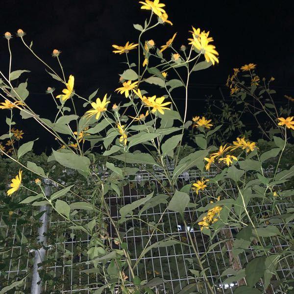 これはなんですか? 線路の脇にあり、大きいのは3mくらいあります。 この手前の小さいのでも2mはありそうです。 とても可愛い花なので、持ってきて花壇に植えたらとんでもないことになりますか?
