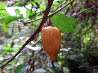 福岡県背振山系で撮りました。この実の植物の名前をご教示ください。