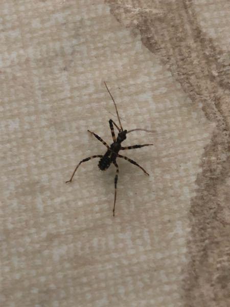 この虫は何さんでしょう?大きさは1cmくらいです。 突然机の上にいらっしゃいました。初めて見ました。 大人しくてゆっくり動いていてなんだか奇妙です。 何方かご存知の方がいらっしゃいましたら教えていただけますと幸いです。