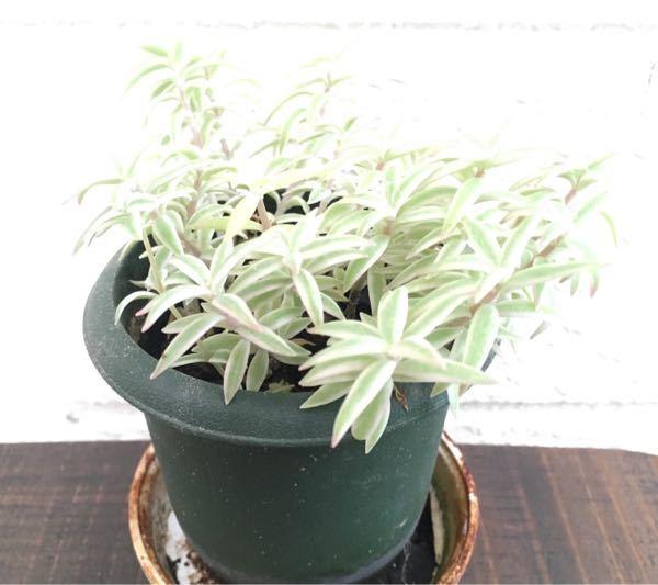 植物の名前を教えてください。 葉っぱに白い縁取りがあります。 葉っぱの長さは2cm位です。 宜しくお願いします。