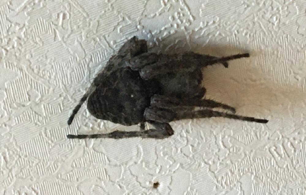 この蜘蛛は何という名前ですか? 家の中やベランダにいて2~3cmあります