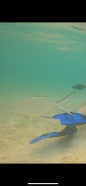 この魚はなんていう魚ですか? 宮古島の海でシュノーケリングをしていたら見かけました。 すごく透明な魚だったのでなんて言う魚か分かる方いたら教えていただきたいです。