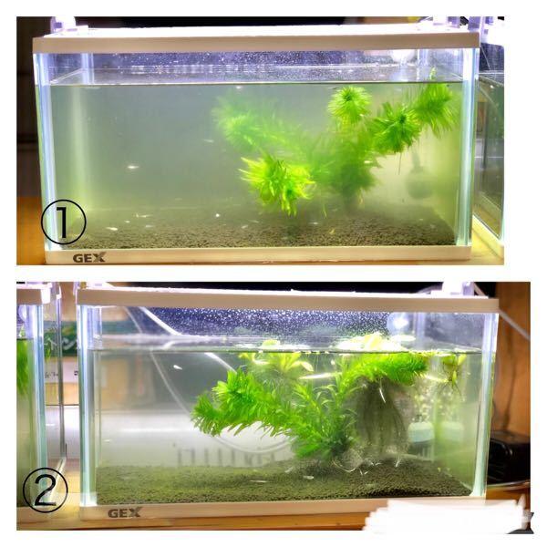 メダカの稚魚飼育について教えてください。 横幅31.5×奥行16×高さ16.8 容量6.5ℓの水槽が2つあります。 ①1センチ前後(大いきので約1cm小さいので約0.5cm)の稚魚が30匹ほど ②約1.5cmの稚魚20匹ほど 育成ソイルを底に敷きアナカリス、エビ3匹でライト使用して飼育しています。 ①の水槽の水が緑になってきました。 ②の水槽は濁りよりも苔が出てきました。 どちらもメダカは元気に泳いでいますがこのままで良いのでしょうか? そしてメダカ同士がよく追いかけ合っています。水槽が小さいのでしょうか? 今は室内で飼育していますが屋外の大きめの鉢に移そうかと思っていますがこれから寒くなるのに良いでしょうか? 今年9月初めに生まれたメダカですが大小の差が出てきたので水槽を分けています。 たくさんの質問ですがどなたかアドバイスください。 よろしくお願いします!