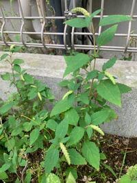 この雑草、何だかわかる方いますか?? 臭いが強くて、どんどん大きくなります。 比較的引き抜きやすく、たやすく除草できますが 毎年畑に大繁殖します。