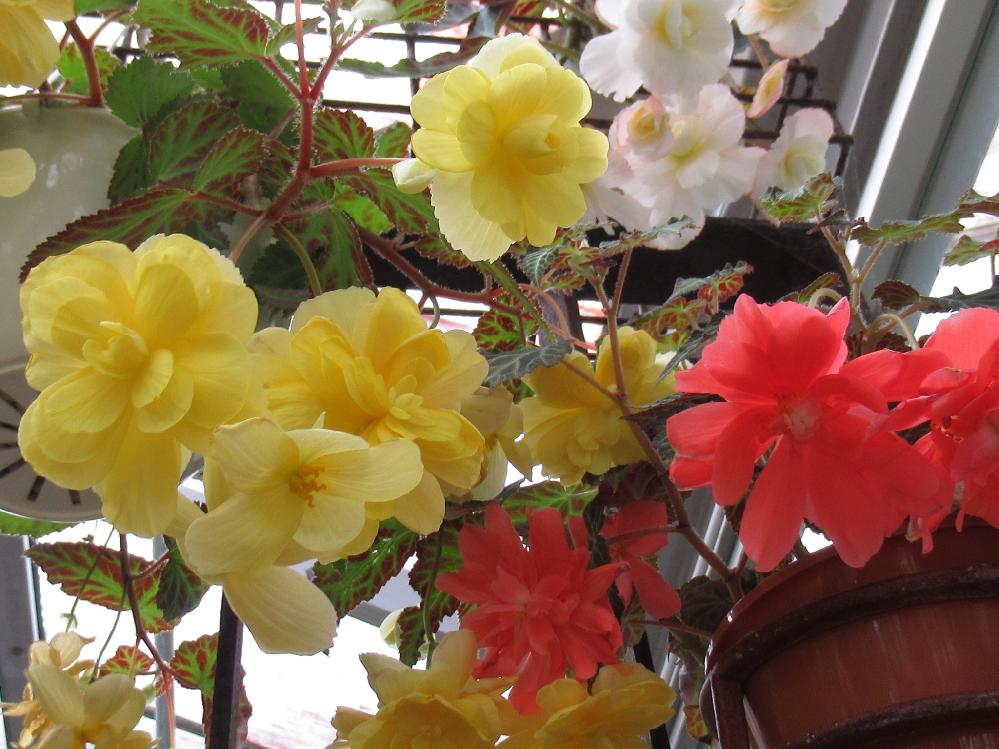 この花も 先程と同じ温室に展示してありましたが 同じ球根ベゴニアでしょうか?