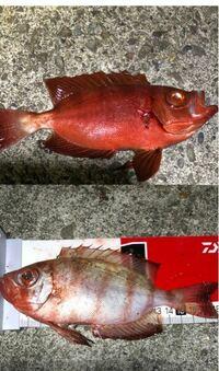 魚に詳しい方教えてください! 写真の魚が 釣った瞬間は上の真っ赤な色をしていましたが 時間が経つと次第に下のような色に変色していました! 詳しい方に聞くと 沖メバル?とか言われましたが 自分で調べると、キントキダイでは? と思いました。 詳しい方、教えてください! 最悪、毒がある魚では無い事さえわかれば安心です。
