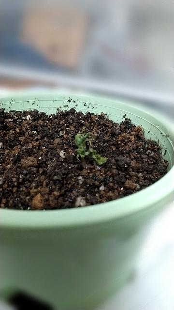 ミニトマトの芽がここまで枯れてしまったのですが、ここから治ることはありますか?どうすれば治りますか?