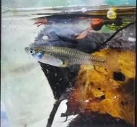 近所の公園の池に生息していた魚ですが、この画像の魚の名前が分からずに子供に説明できずに困っています。 もし、魚に詳しい方が教えて頂けると大変助かります。 また、自宅でメダカ飼っているのですが、一緒に育てることは可能かどうかも教えて頂きたいです。