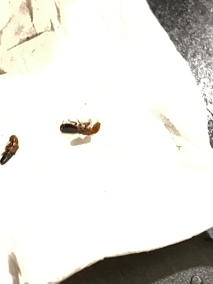 ZOZOでトレーナーを購入したら服に画像の虫が二匹ついてました、、、 生きてたのでプチっとやってしまいましたが、小さな子供がいる家なので、少し心配で。 お分かりになられる方、なんとゆう虫かご教示頂けたら幸いです。 ちなみに羽蟻みたいな羽がありました。