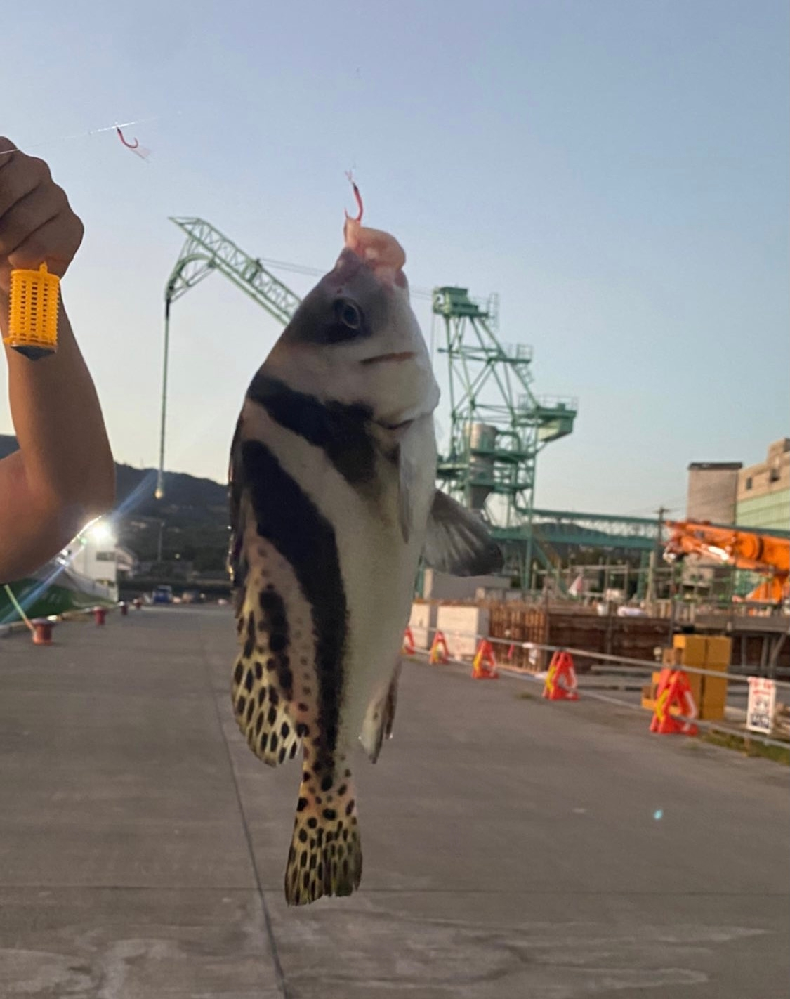 お魚に詳しい方教えてください。 この魚はなんでしょうか??