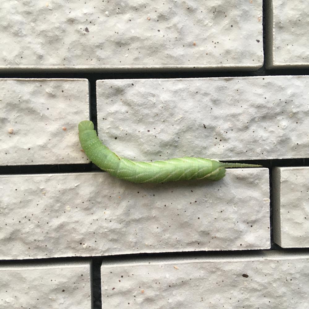 この虫の名前を教えてください。 家の外壁を這っていました。大きさは5〜6cmほど。あおむしみたいな動きで、お尻に細いツノみたいな突起があります。 よろしくお願いします。