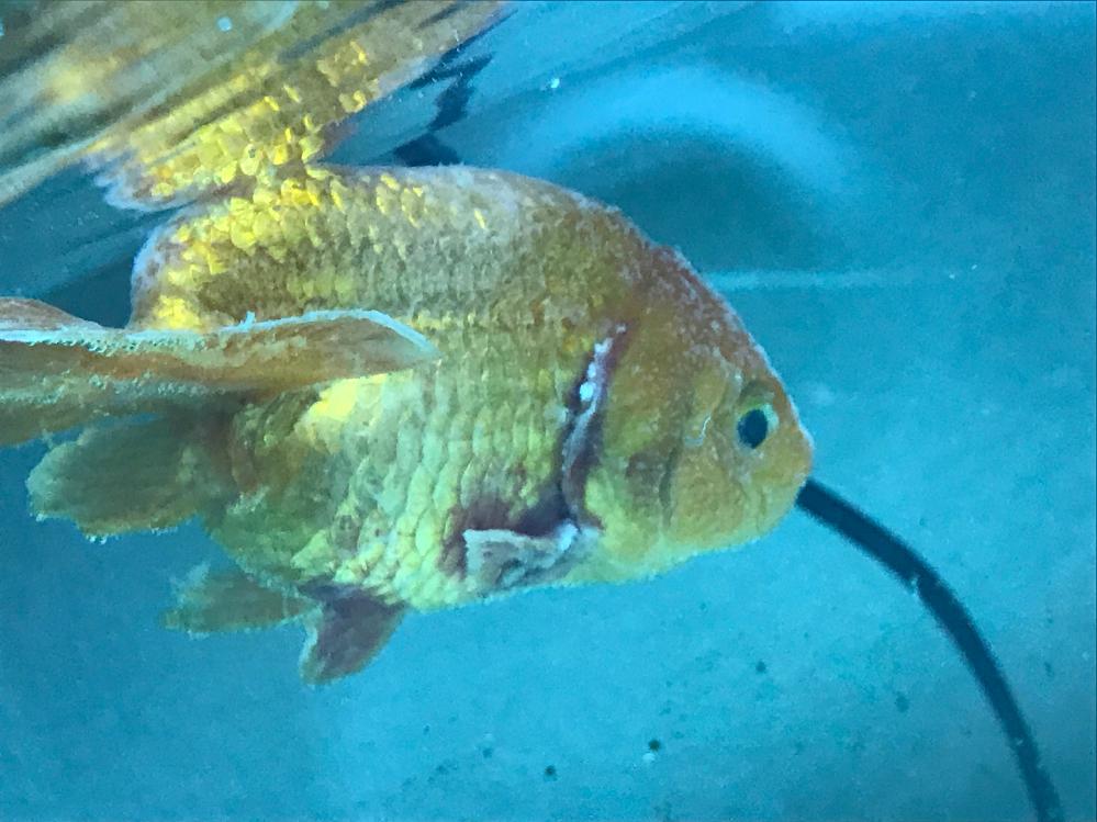 金魚が白くなって弱ってしまいました 病名と治療法教えてください