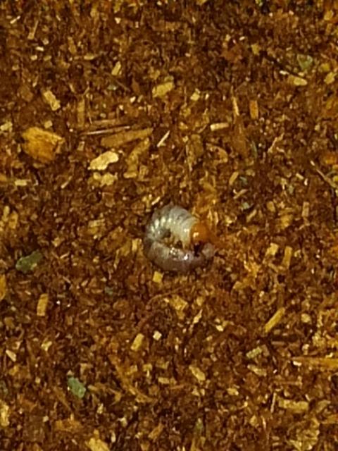 クワガタに詳しい方。 1週間以上、土から顔を出さないクワガタメスがいて、確認したら朽ち木の裏付近で亡くなってました。土の処分をしていたら、小指の第一関節くらいの小さなクワガタ幼虫がいました!一匹です。 ①朽ち木を割って確認したけど、他に個体は無いし、そもそも、卵を産むとは想定していない朽ち木(転倒防止用においただけで、朽ち木自体も卵を産み付けるには不適当な大きさ)なので、この子は土の中で産まれたのでしょうか? ②7月にオスとメスを同じケースに入れたらすぐに交尾を確認し、その後、飼育を分けました。この幼虫はこの2匹の子供でしょうか?交尾からいつ卵を産んだのか謎。土も取り換えたりしますし。 購入した土に元から別のクワガタの卵がいたのでは?とも。 ③今は瓶に土を入れ、紙の蓋をして幼虫を観察しています。空洞の道があり、姿も見えたり、動きはあります。何か土の中に入れるべきものはありますか?