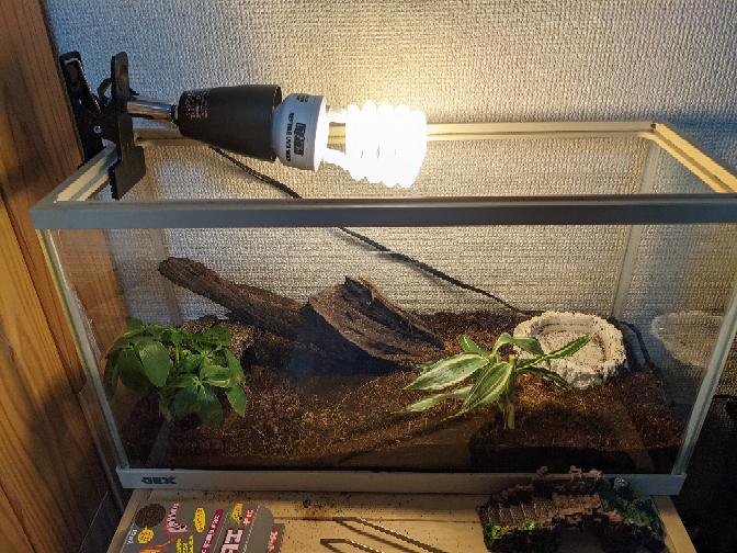 野生のカナヘビを飼い始めました。 45cmの水槽があったので、それを使い紫外線ライトのみで飼育しています。 バスキングライトはやはり必須でしょうか? 夕方になると寒いのか土に潜ってしまいます。カナヘビは土に潜る事はしないそうですが、うちの子は潜ります。 やはりバスキングライトはあったほうがいいでしょうか? 水槽が狭く、ライトだらけになりそうな気がするのですが… また、紫外線ライトが非常に眩しいのですが、みなさんこんな感じなのですかね? 人間の眼に問題ありませんか? 飼育環境はこんな感じです(写真) ライトの位置がこんなもんなのか、爬虫類を飼ったことがないので、色々アドバイスお願いします。