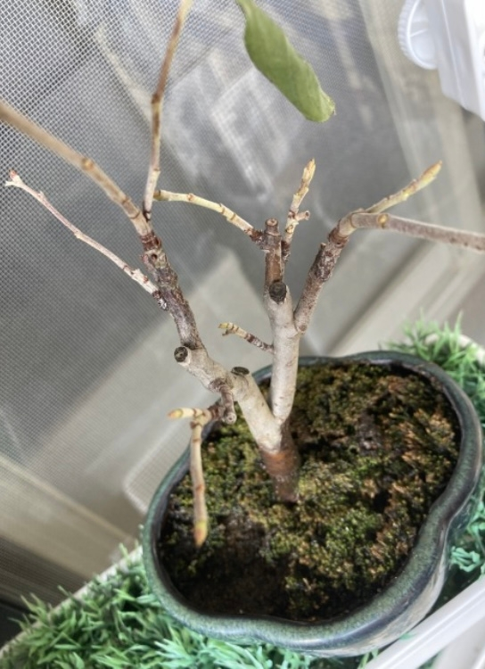 カマツカの盆栽です。 7月下旬にホームセンターで購入したカマツカです。 この2、3日で葉っぱがカサカサになり落ちました。このままで大丈夫でしょうか? 盆栽ではなく鉢植えにしたいなぁ、とも思っているのですが、今植え替えてもいいですか?
