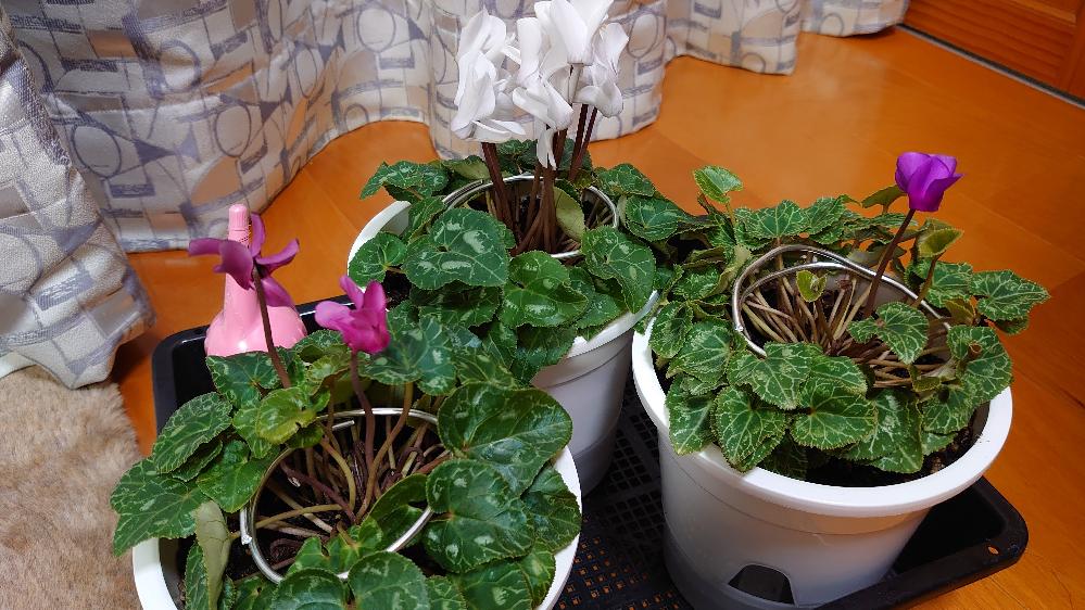シクラメンを育てているのですが、花がほとんど枯れてしまいました。YouTube等で調べたら葉組みが必要との事で、写真のように球根の中心に光を当てています。 綺麗なシクラメンを咲かせるために何をしたら良いでしょうか?
