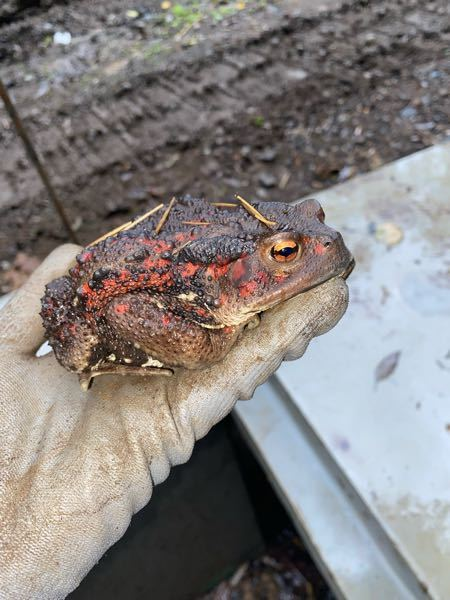 このカエルはなんてカエルですか?