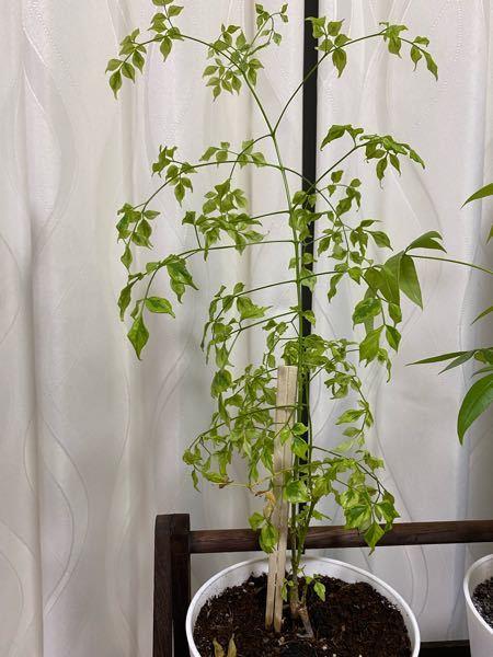 この観葉植物はなんという名前でしょうか? 購入当時はレモンライムと書いてありましたが調べたら写真と全然違うので飼育方法がよくわかりません…