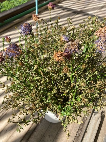 宿根アスター ビクトリア の様子がおかしいです これは元の生き生きとしたビクトリアにもどりますでしょうか? 最初は綺麗に咲いていた花が咲かずに枯れてるようです。 葉もカサカサで茶色くなってます。 何が