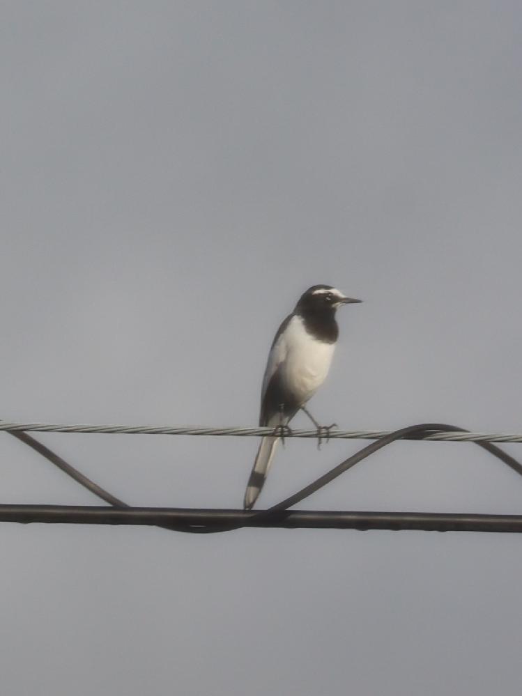 この鳥の名前を教えてください。セグロセキレイだと思ったのですが尻尾の黒い部分が気になってます。よろしくお願いいたします。