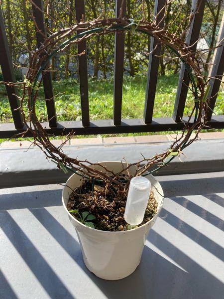この薔薇もう手遅れでしょうか? 今年5月に購入した頃は花が咲いていたのですが その後蜘蛛の巣のようなものが張ってしまい枝を切り落としました。 それから3ヶ月経ちますが花も葉も育ちません。 もう手遅れなのでしょうか?