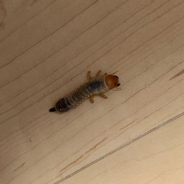 家のサンルームに居ました。 この虫はなんですか? サンルームでは植木を2鉢 お花を育てていますが関係はありますか?