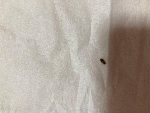 この1ヶ月で、この虫を本棚のところで10匹くらい(ほとんど死んでいた)発見しました。 なんの虫かご存知の方がいらしたら、教えていただけないでしょうか?