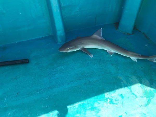 このサメは何ザメですか? 子供が知りたがっているので是非教えて下さい。